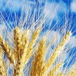 Wheat ears against blue sky — Stock Photo #2656074