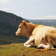 Cow on top of the hill in summer — Stock Photo #2657154