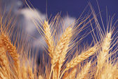 Wheat ears against the blue sky — Stock Photo