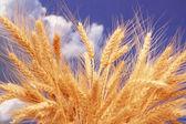 Wheat ears against the cloudy sky — Stock Photo