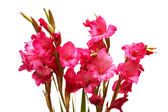 Red gladiolus isolated on the white — Stock Photo