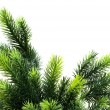 Close up van fir tree brach geïsoleerd — Stockfoto