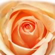 Pink rose isolated  on the white — Stock Photo