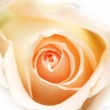 Pink rose isolated on the white — Stock Photo #2685179