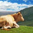 Cow on top of the hill in summer — Stock Photo #2686517