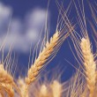 Wheat ears against the blue  sky — Stock Photo