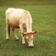 Stock Photo: Cow grazing on the green meadow
