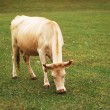 Cow grazing on the green meadow — Stock Photo #2686612