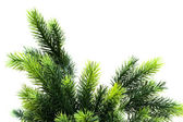 Close up of fir tree brach isolated — Stock Photo
