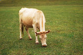 Cow grazing on the green meadow — Stock Photo