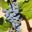 Ripening cluster of wine grapes - Stock Photo