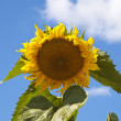 Yellow beautiful sunflower — Stock Photo