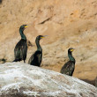 Colony crested cormorants on stones. — Stock Photo #1568249