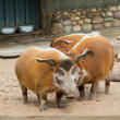 Wild pigs — Stock Photo #1568348