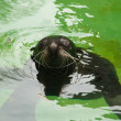 Foto de Stock  : Fur seal