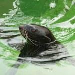 foca — Foto de Stock