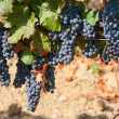 Ripening cluster of wine grapes — Stock Photo #1614716