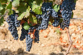 Ripening cluster of wine grapes — Stock Photo