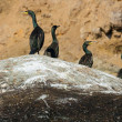 Colony crested cormorants on stones. — Stock Photo #2065812