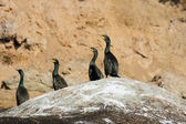 Colony crested cormorants on stones. — Stock Photo