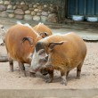 Wild pigs — Stock Photo #2364568