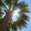 Palm tree — Stock Photo #2364598