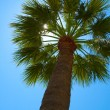 Palm tree — Stock Photo #2418440