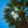 Palm tree — Stock Photo #2419469