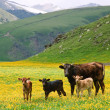 Foto de Stock  : Cows in mountains