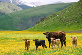 Krávy v horách — Stock fotografie
