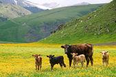 Vaches dans les montagnes — Photo
