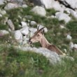 Goat among rocks — Stockfoto #1219163