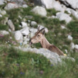 Stockfoto: Goat among rocks