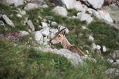 Koza wśród skał — Zdjęcie stockowe