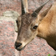 Antelope — Stock Photo #1208645