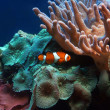 Clownfish — Stock Photo