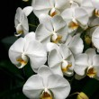 Stock Photo: White orchids