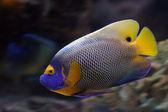 Tropikal balık — Stok fotoğraf