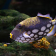 Stock Photo: Triggerfish floats