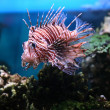 Stock Photo: Pterois volitans