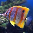 Stock Photo: Colourful Sixspine butterfly-fish
