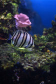 Fish-butterfly about a bottom searches for food — Stock Photo
