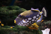 Triggerfish floats — Stock Photo
