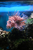 Pterois volitans — Stock Photo