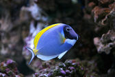 Powder-Blue Sergeonfish — Stock Photo