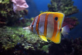 Colourful Sixspine butterfly-fish — Stock Photo