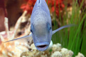 "Aquarium small fish "" blue AKARA "" — Stock Photo"