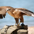 Falcon — Stock Photo #1187707