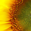 Royalty-Free Stock Photo: Sunflower close-up