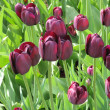 Royalty-Free Stock Photo: Violet tulips